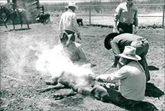 Vintage photo of USA Agriculture. Marking, castration, perception and vaccination at Alexander Ranch