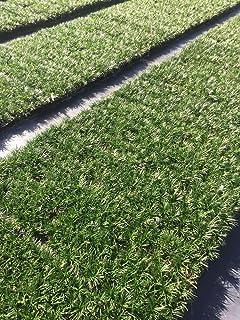 Dwarf Mondo Grass - 20 Live Plants - Shade Loving Evergreen Ground Cover