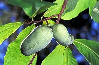 Best indian banana tree Reviews
