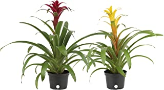 Costa Farms Blooming Bromeliad, Live Indoor Plant, Grower's Choice, Assorted Colors - Red, Pink, Orange, Yellow, Ships in 6-Inch Grower Pot, 2-Pack, Fresh From Our Farm