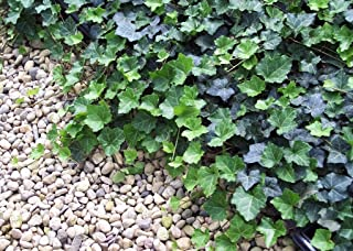 Thorndale English Ivy 48 Plants - Hardy Groundcover - 1 3/4