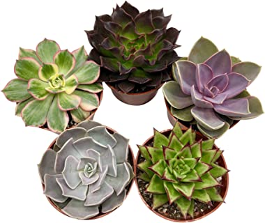 """Live Succulent Plants (5 Pack), 4"""" Size Succulents Fully Rooted in Planter Pots with Soil - Unique Indoor Cactus Decor by The"""