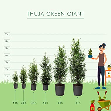 Thuja Green Giant Trees - Large, Tall Evergreen Trees for Instant Privacy! - Oversize Arborvitae Thuja Green Giants | Cannot