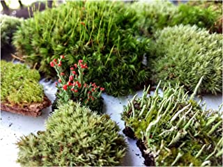 Tin Roof Treasure Super Fairy Garden Assortment Moss and Lichen with Miniature Fairy Terrarium, 6