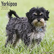 Yorkipoo- Dog Breed Calendar - Wall Calendar 2019-2020
