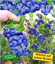 BALDUR-Garten Trauben-Heidelbeere 'Reka® Blue' Blaubeeren Heidelbeeren Pflanze, 1 Pflanze Vaccinium corymbosum reichtragend