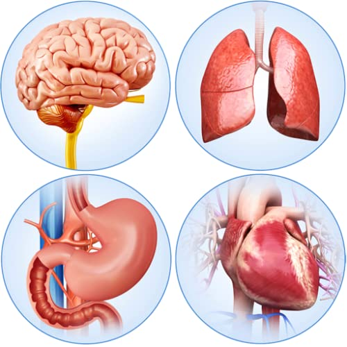Organs Anatomy Pro.