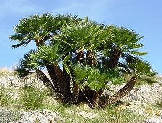 5 MEDITERRANEAN FAN PALM European Dwarf Tree Shrub Chamaerops Humilis Seeds