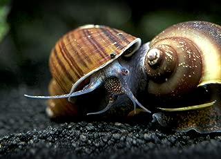 Aquatic Arts 1 Black Mystery Snail (Pomacea bridgesii - 1/2 to 2+ inch) - Algae Eating Live Snail