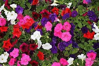 HOT - Petunia Deluxe Mixed Colors - 1000 Seeds - Balcony Flower - Petunia hybrida