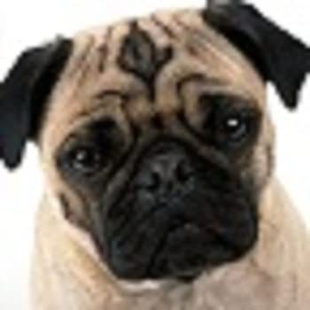 Free Pug Walls - Commentbug.com
