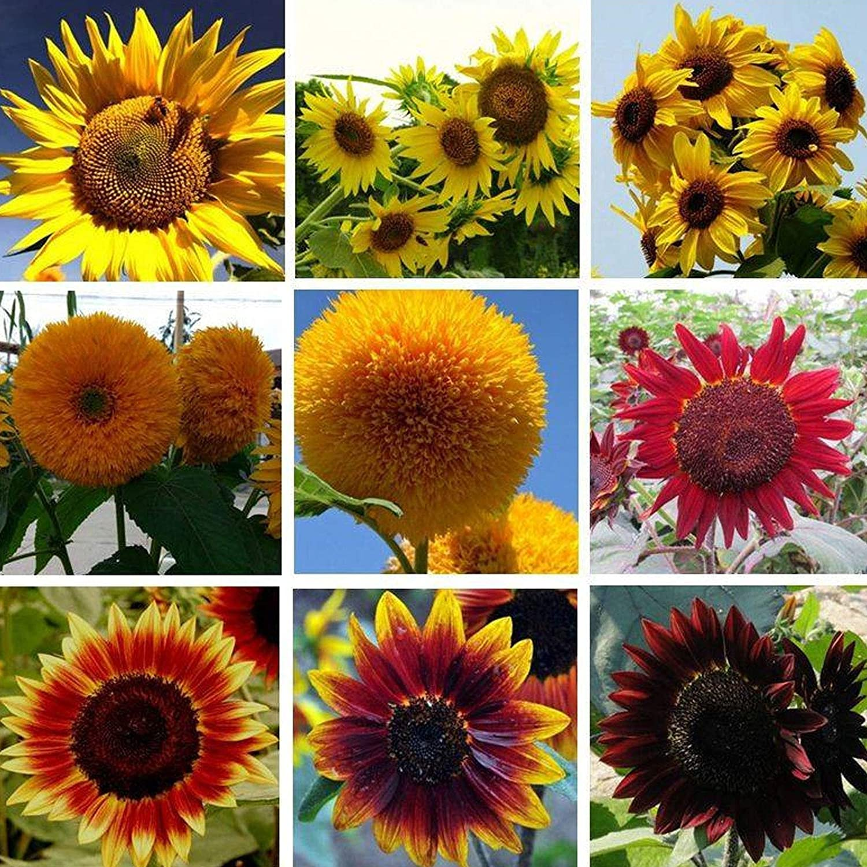 1000 Pcs Sunflower Seeds Max 83% OFF Plant 15 Garden Choice Fresh Non-GMO