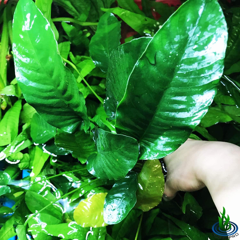 Free shipping Greenpro Anubias Barteri VAR. XXL Easy Mother cheap Live Pot