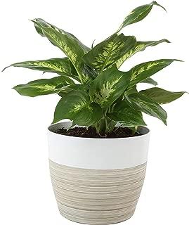 Best dieffenbachia plant for sale Reviews