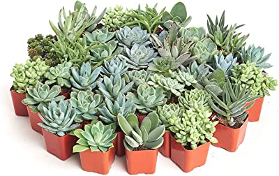 Shop Succulents | Azul Verde Collection | Assortment of Hand Selected, Fully Rooted Live Indoor Blue/Green Succulent Plants, 100-Pack