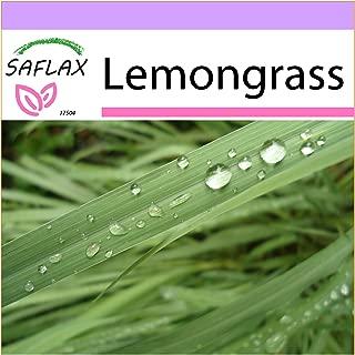 SAFLAX - Lemongrass - 50 Seeds - Cymbopogon flexosus