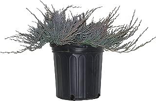 Best juniper bar harbor plants Reviews