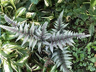 Best japanese painted fern spores Reviews