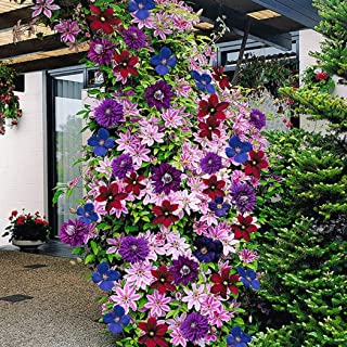Lioder 50pcs Mixed Color Clematis Seeds Warsaw Clematis Wonderful Garden Balcony Climbing Heirloom Vine Plant