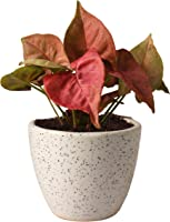 Rolling Nature Good Luck Pink Syngonium Plant in White Round Dew Ceramic Pot, Pink Leaves, White Pot, 8 Inch, 1 Piece