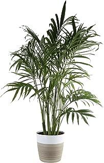 Costa Farms Cat Cataractarum Indoor Palm Tree Décor Planter, 3-Foot, White-Natural