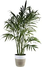 Costa Farms Cat Cataractarum Indoor Palm Tree Décor Planter, 3-Foot, Natural