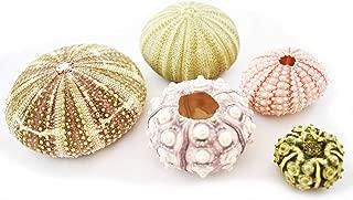 Florida Shells & Gifts: Sea Urchin Sampler: Alfonso, Sputnik, Pink, Green and Mini Sea Urchins - 5 pc