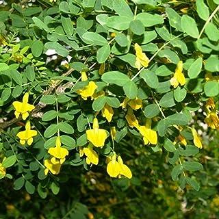 シベリアエンドウ豆の木ムレスズメ属arborescensの20種