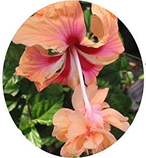 Peach Orange Lions Tail Tropical Hibiscus Live Plant Rare Unusual Pom Pom Poodle Tail Flower El Capitola Sport 4 Inch Pot Emeralds TM