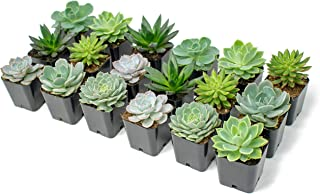 Succulent Plants | 18 Echeveria Succulents | Rooted in Planter Pots with Soil | Real Live Indoor Plants | Gifts or Room Decor by Plants for Pets