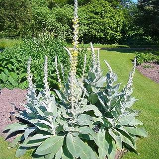 100 Pcs White Blush Verbascum Blattaria Albiflorum Moth Mullein Flower Seeds #SSNH