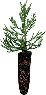 Giant Sequoia | Live Tree Seedling (Medium) | The Jonsteen Company