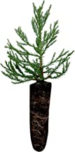 Giant Sequoia | Live Tree Seedling (Medium) | The Jonsteen Company