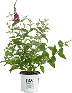 1 Gal. Miss Molly Butterfly Bush (Buddleia) Live Shrub, Deep Pink Flowers
