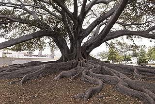 Santa Barbara, CA Photo - Santa Barbara's Moreton Bay Fig Tree located in Santa Barbara, California, is believed to be the largest Ficus macrophylla in the country - Carol Highsmith