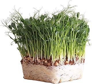 Organic Garden Yellow Pea Seeds - 1 Lb ~2,000 Seeds - Non-GMO Heirloom Yellow Sprouting Pea Seeds for Microgreens Pea Shoo...