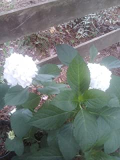 (1 Gallon) Madame Emile Mouillere Hydrangea-cluster of White Flowers,