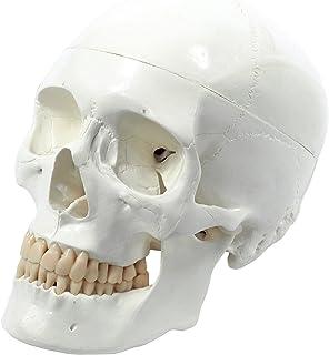 Cranstein E-240 Cráneo humano: Modelo anatómico educativo de 3 piezas