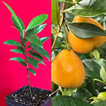 Eugenia Luschnathiana PITOMBA Potted Plant Fruit Starter Pot Tree 4-6