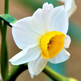 FRAGRANT Daffodil Bulbs - Narcissus Chinese Sacred Lily - 10 Very Large Bulbs - 15/17 cm! | Ships from Easy to Grow TM