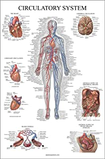 Circulatory System Anatomical Chart - Vascular Anatomy Poster - Double Sided - (18