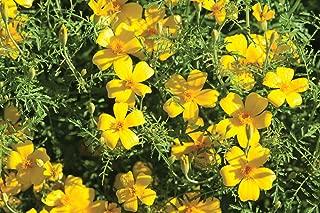 Best lemon gem marigold seeds Reviews