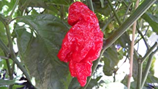 Jay's Red Ghost Scorpion Chile Pepper 10+ Seeds