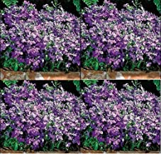 Lobelia Regatta Sky Blue Annual Flowers Seeds 10,000 Pcs an