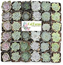 "CAL Farms 2"" Rosettes Succulents - for Weddings, Private Parties, Gifts, Party Favors, Gardening and Special Events (Pack of 36)"