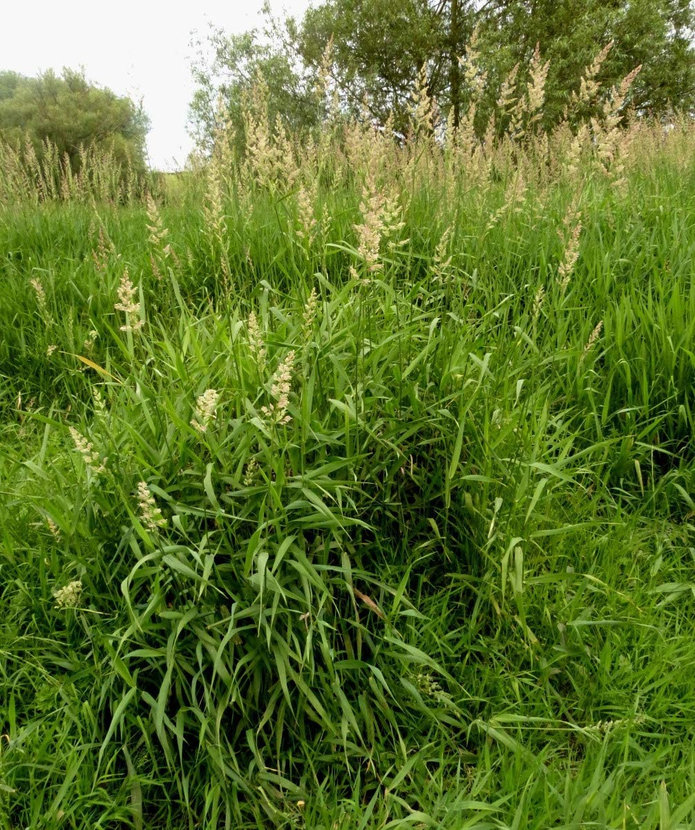 Half Ounce Reed Canary Grass Product Phalaris for 5% OFF Planting arundina Seed