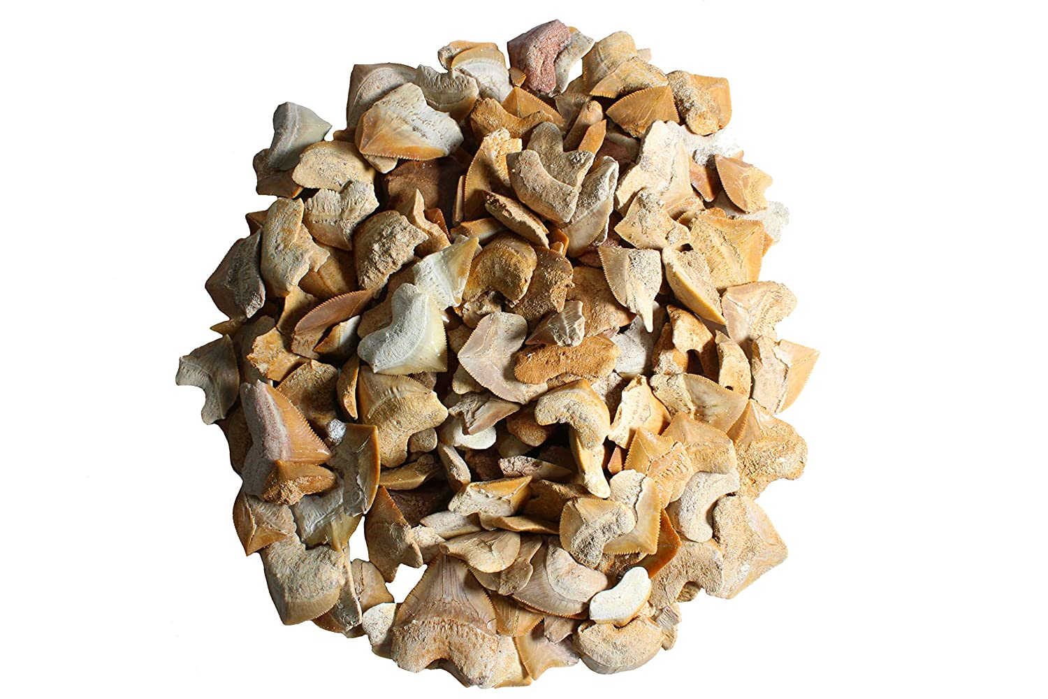 1 2 LB Corax Shark Teeth Wholesale Bulk Real Charlotte Mall Sales of SALE items from new works - Authentic Fossils