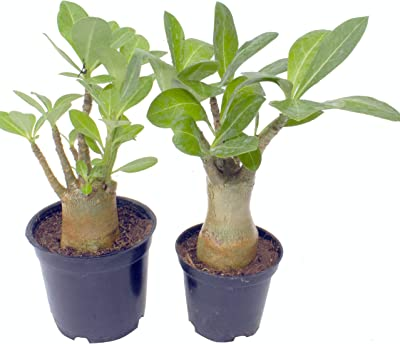 Indian Gardens - Arabicum (Root Trained) - Set of 2 with Pot