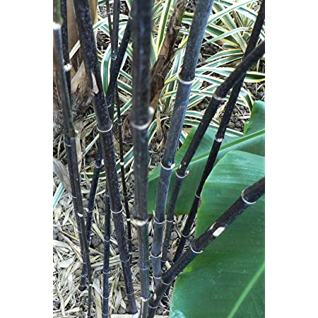 Asklepios-seeds® - 50 Semillas de Phyllostachys nigra Phyllostachys nigra nigrum, bambú negro