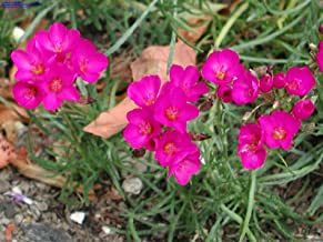 calandrinia umbellata ruby tuesday